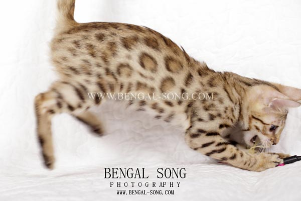 Chaton bengal disponible type sauvage
