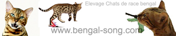 Chatterie Bengal Song : Elevage de chats de race bengal